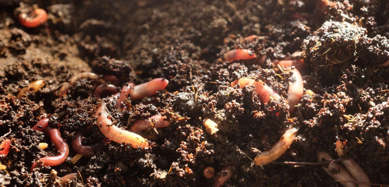 Kompostw Rmer wurmkompost selbst herstellen mithilfe 1000 würmern